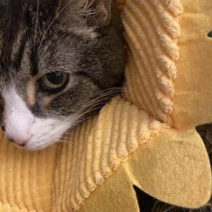 Cat lymphoma collar caregiving